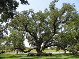 small live oak tree